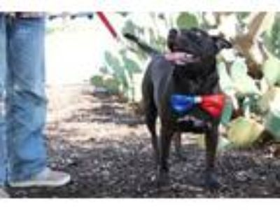 Adopt Cowboy Curtis Cruz SP a Black American Pit Bull Terrier / Mixed dog in Von