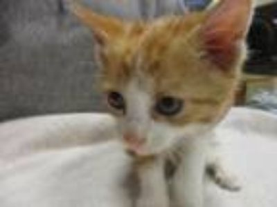Adopt Prince Charming a Domestic Short Hair