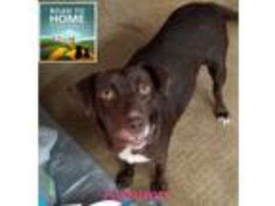 Adopt Autumn a Brown/Chocolate - with White Labrador Retriever / Mixed dog in