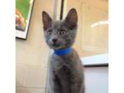 Adopt Gemchip a Gray or Blue Domestic Shorthair / Domestic Shorthair / Mixed cat