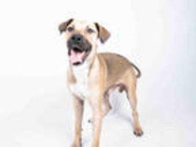 Adopt SHANDY a Tan/Yellow/Fawn - with White Black Mouth Cur / Mixed dog in