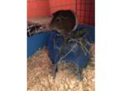 Adopt Sebastian a Brown or Chocolate Guinea Pig small animal in Fullerton
