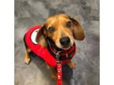 Adopt Josie a Black - with Tan, Yellow or Fawn Beagle / Mixed dog in Las Vegas