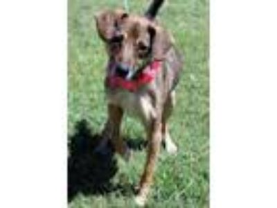 Adopt Jeanie a Black Beagle / Shepherd (Unknown Type) / Mixed dog in Cleburne