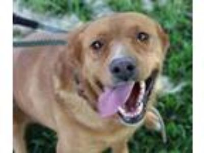 Adopt FAITH a Labrador Retriever
