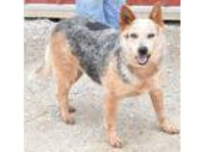 Adopt Hope a Australian Cattle Dog / Blue Heeler