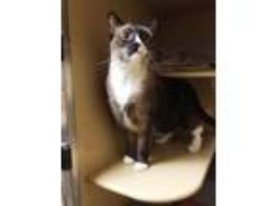Adopt Toby a Snowshoe, Siamese