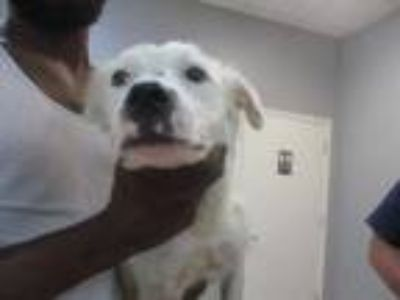 Adopt *LUNA a White Border Collie / Mixed dog in Killeen, TX (25925422)