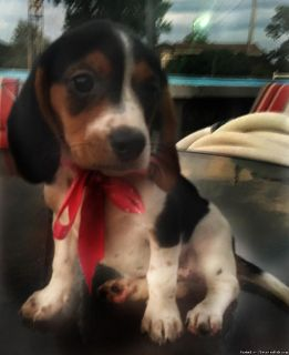 Reg. Beagle Puppies
