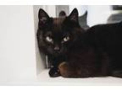 Adopt Buckwheat a Domestic Short Hair