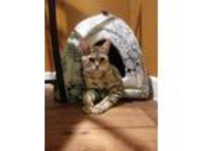 Adopt Sandy a Tan or Fawn Tabby American Shorthair cat in Dallas, TX (24159612)