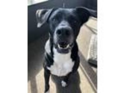 Adopt Radar a Black - with White Labrador Retriever / Border Collie / Mixed dog