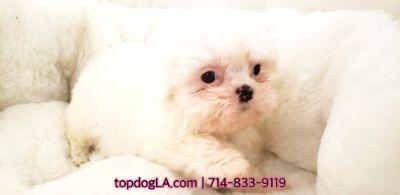 Shih Tzu PUPPY FOR SALE ADN-75056 - Shihtzu Female Nellie
