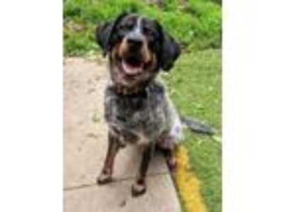 Adopt Moose a Cattle Dog, Great Pyrenees