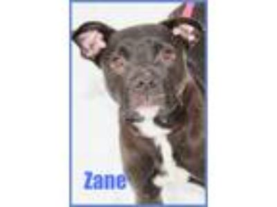 Adopt Zane a Black - with White Labrador Retriever / American Staffordshire