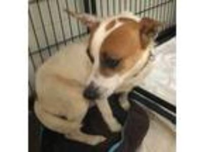 Adopt Ross a White Jack Russell Terrier / Mixed dog in Columbus, NC (25657556)