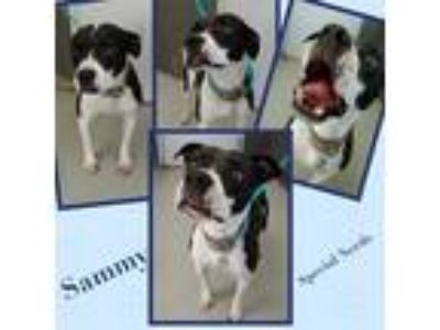 Adopt SAMMY a Black - with White Boxer / American Pit Bull Terrier / Mixed dog