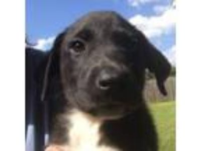 Adopt Joanna a Border Collie, Labrador Retriever