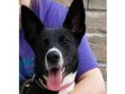 Adopt Gabby (D19-130) a Black Shepherd (Unknown Type) / Border Collie / Mixed