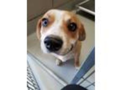 Adopt Tomas a Beagle, Mixed Breed