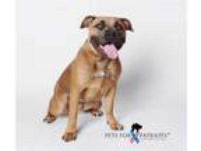 Adopt ISABEL a Staffordshire Bull Terrier