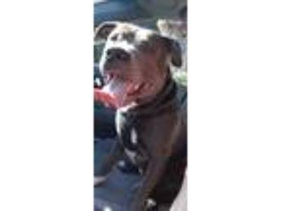 Adopt champ a Gray/Blue/Silver/Salt & Pepper American Pit Bull Terrier / Mixed