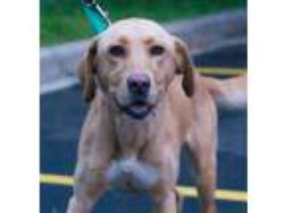 Adopt Shandie a Tan/Yellow/Fawn Labrador Retriever / Mixed dog in Roselle