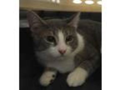 Adopt Baby a Gray or Blue Domestic Shorthair / Domestic Shorthair / Mixed cat in