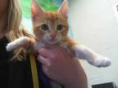 Adopt LUCIELLE a Orange or Red (Mostly) Domestic Shorthair / Mixed (short coat)