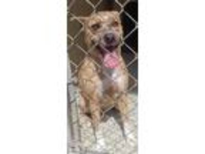 Adopt SAGE a Pit Bull Terrier, Mixed Breed