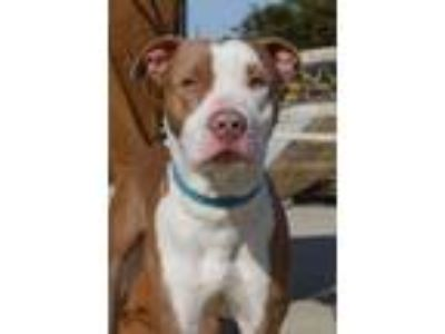Adopt Maverick a Pit Bull Terrier, Pointer