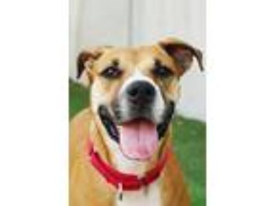 Adopt Nancy a Brown/Chocolate - with Black Boxer / Mixed dog in Miami