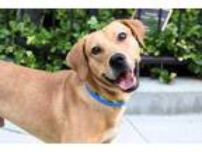 Adopt Dexter a Tan/Yellow/Fawn Labrador Retriever / Mixed dog in Chicago