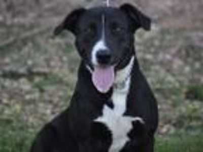 Adopt Marley a Border Collie / Mixed dog in Osage Beach, MO (23769334)