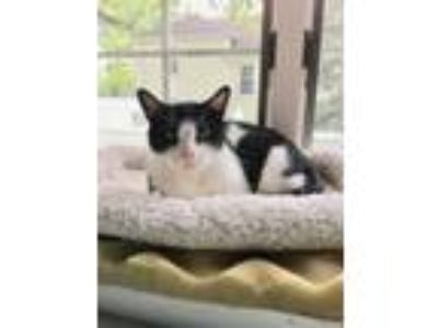 Adopt Gertrude a Black & White or Tuxedo American Shorthair / Mixed cat in