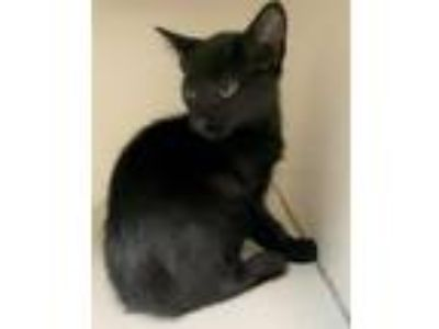 Adopt Ezra (Squirt) a Domestic Short Hair