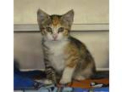 Adopt Kiara a Domestic Short Hair