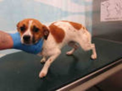 Adopt JACKY a White - with Tan, Yellow or Fawn Jack Russell Terrier / Mixed dog