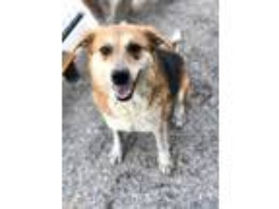 Adopt Minnie a Beagle, Hound