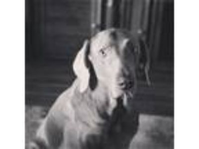 Adopt Willie a Gray/Blue/Silver/Salt & Pepper Weimaraner / Mixed dog in Lake