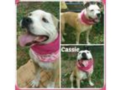 Adopt CASSIE a Tan/Yellow/Fawn - with White Bull Terrier / Mixed dog in Malvern
