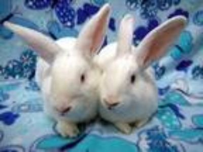 Adopt Moki a Other/Unknown / Mixed (short coat) rabbit in Scotts Valley