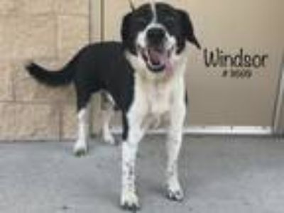 Adopt Windsor a Black Border Collie / Labrador Retriever dog in Alvin