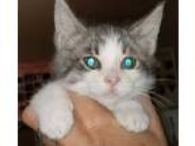 Adopt raven a Gray or Blue (Mostly) Domestic Shorthair (short coat) cat in