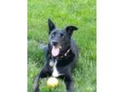 Adopt Betty a Black - with White Labrador Retriever / Border Collie / Mixed dog