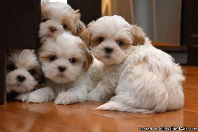 Pure Shih Tzu puppies