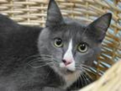 Adopt Rose a Domestic Shorthair / Mixed cat in Portland, OR (25240961)