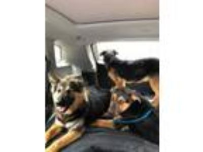 Adopt Patron a German Shepherd Dog
