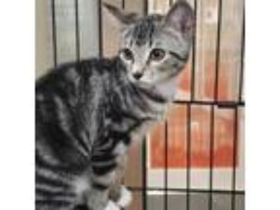 Adopt Walnuts a White Domestic Shorthair cat in New York City, NY (25596938)