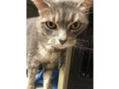 Adopt Tag a Gray or Blue (Mostly) Domestic Shorthair / Mixed (short coat) cat in